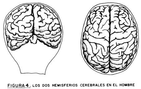 Diferencia del cerebro en el sexo de la imagen